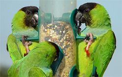 alimentation conure nanday