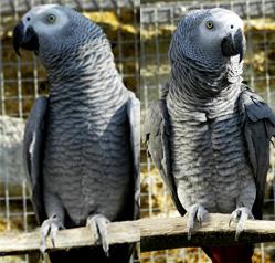 Le Gris du gabon, un oiseau intelligent