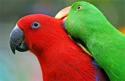 eclectus vert et rouge