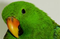 eclectus vert