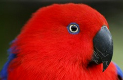 eclectus rouge