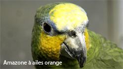 amazone a ailes orange
